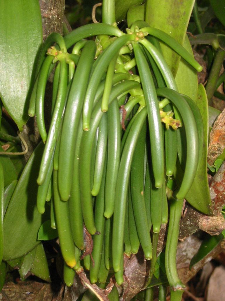 wholesale vanilla bean - green vanilla beans