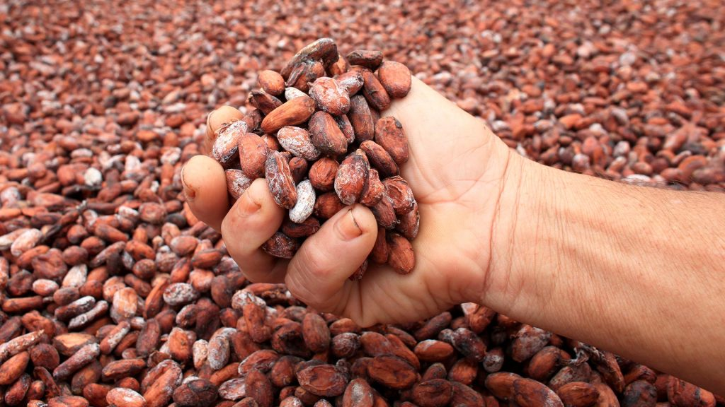 cocoa bean supplier madagascar - cocoa bean farmers