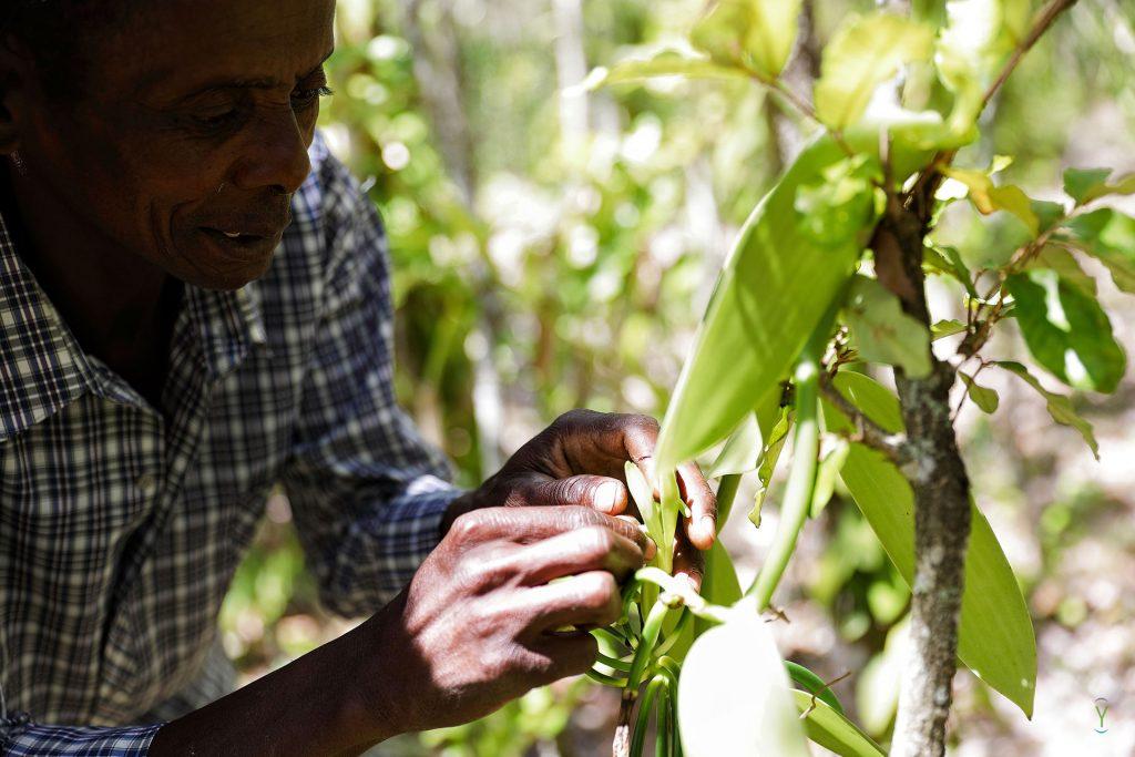 Vanilla planifolia : La vanille de Madagascar face à la concurrence